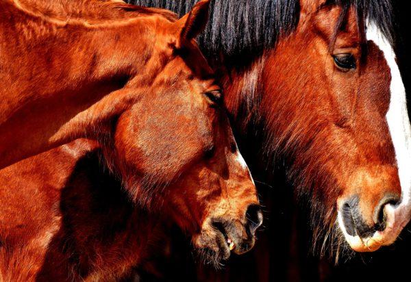 apareamiento, caballos, reproducción caballos
