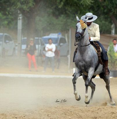 Oro Jóvenes Jinetes, Manuel Morillo Romero con OX en el Campeonato de Andalucía de Doma Vaquera 2015